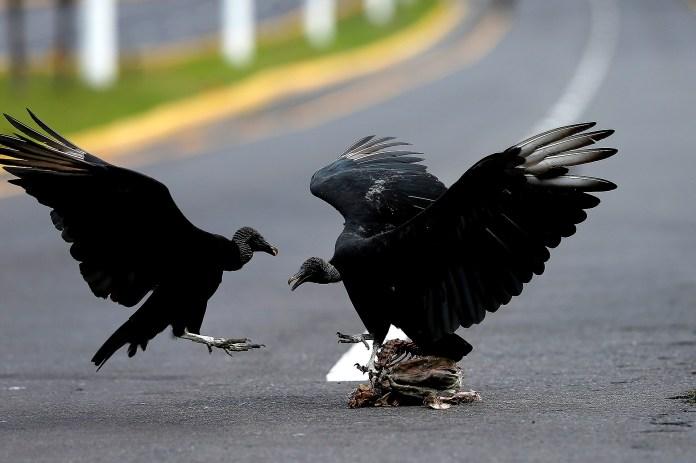 En Ecuador, dos pájaros atacan a uno más pequeño
