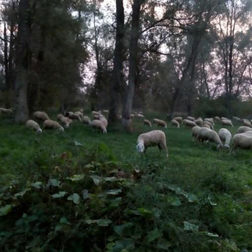 Pecore-in-Arcadia