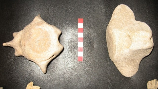 "Vertebrae and part of the pelvis bone of a 10-million-year-old ""whale-like mammal"" have been discovered near the northwestern Bulgarian city of Vidin. Photos: Olya Milanova, Vidin Regional Museum of History / Radio Vidin"