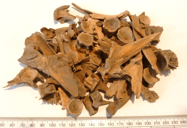 Fish Remains from Quoygrew