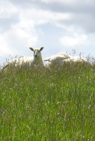 Sheep grazing on the abundant summer pastures in Orkney.