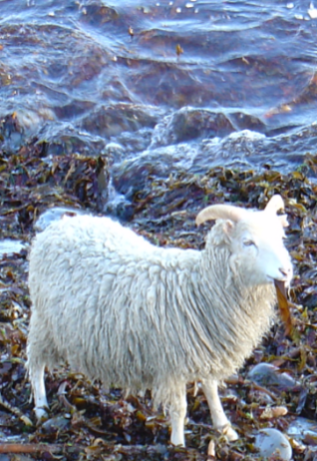 The North Ronaldsay sheep: this breed native to Orkney, almost exculsively subsists on seaweed.