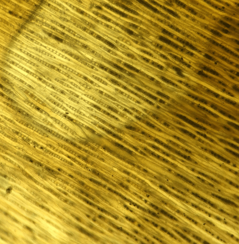 A tiny portion of the wooden bowl under the microscope revealing the structure and identifying it as Alder