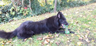 chienne berger belge groenendael? WONDERFULL ARCHE