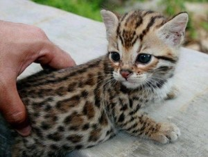chaton leopard
