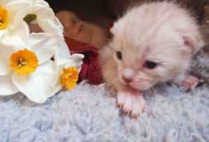 petit-chaton-bengal