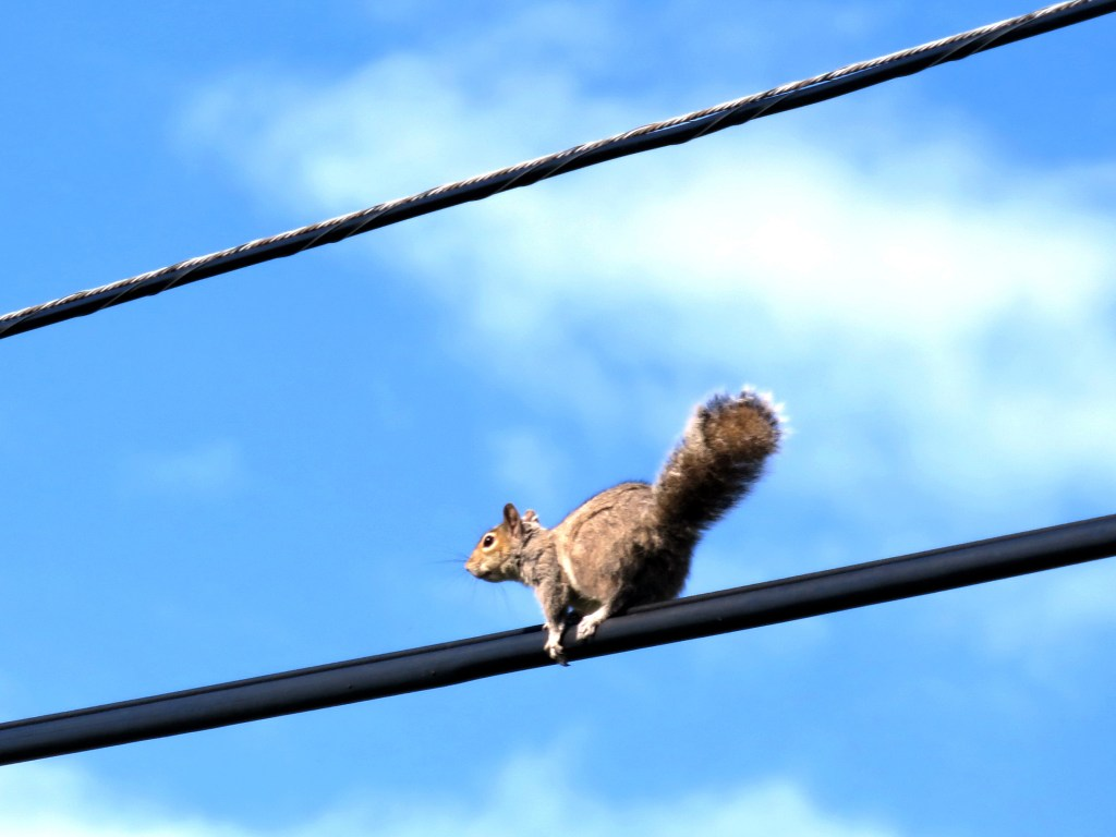 Squirrel on power line