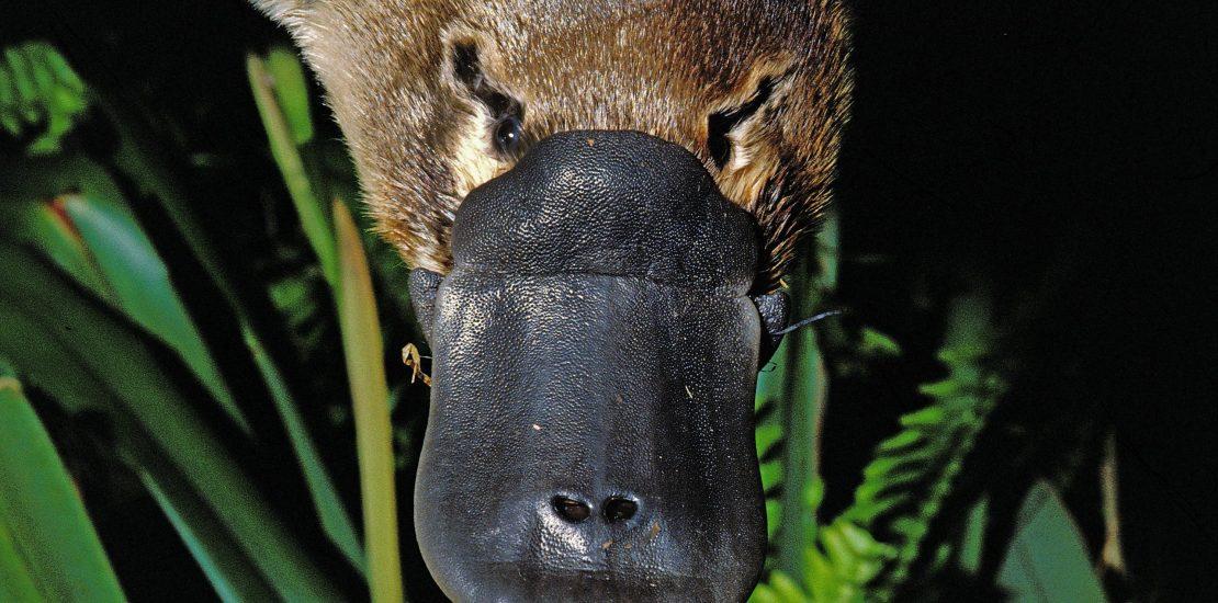 platypus in plants