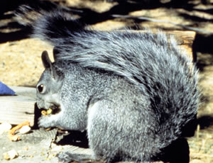 Silver Gray Squirrel - Such big game for the hunter.