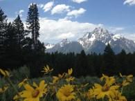 Arrowleaf Balsamroot is blooming everywhere in the Tetons in June.