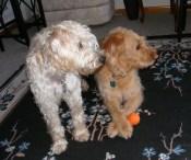 Amanda Cibulka's dogs, Mala (left) and Bogan (right)