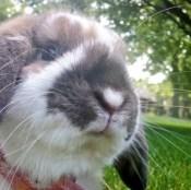 Kellie Catron's rabbit, Snickerdoodle, aka Snickers