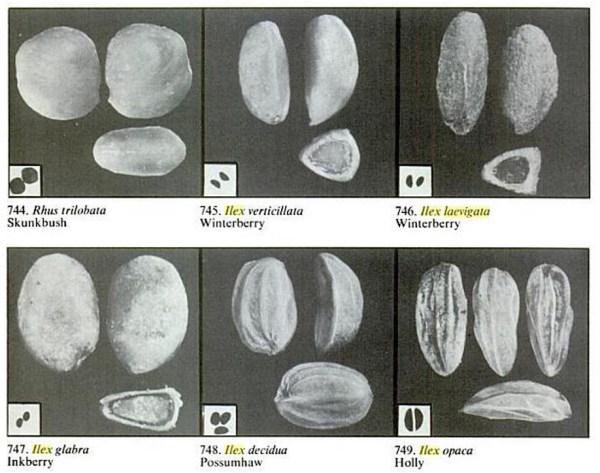 Ilex seed identification