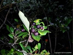 Species Spotlight – Photinia Floribunda