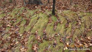 ArcheWild - Carex appalachica - EcoRegion 070c - in shade