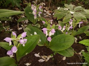 Species Spotlight – Galearis Spectabilis (showy Orchid)