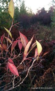 ArcheWild - Photinia floribunda