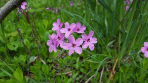 Species Spotlight – Phlox Stolonifera (creeping Phlox)
