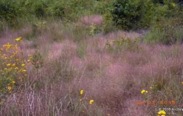 2015 ArcheWild - Eragrostis spectabilis in situ-001