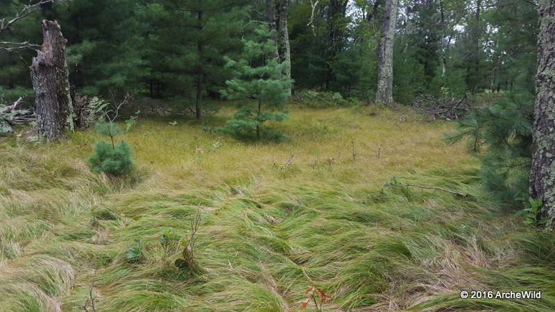 2016 ArcheWild – Carex Pensylvanica And Carex Appalachica Lawn 051c