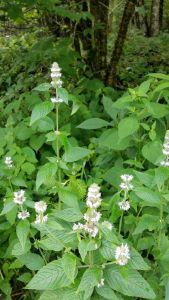 Species Spotlight – Blephilia Hirsuta Var. Hirsuta