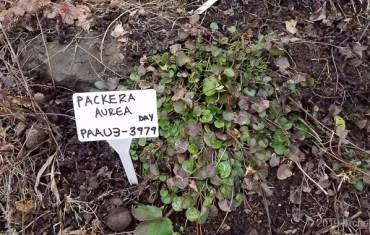 2019 ArcheWild - Packera aurea var. gracilis