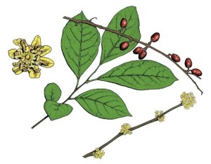 edible spicebush drawing
