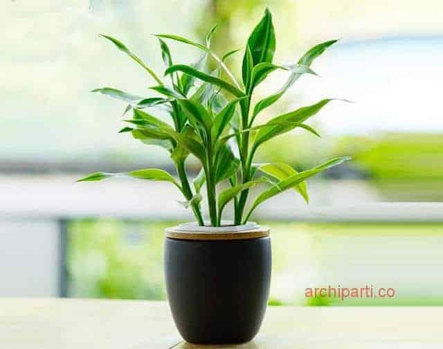 办公桌风水盆栽 办公室风水 植物