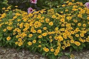 Tuscan Sun Perennial Sunflower