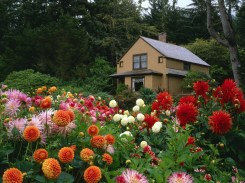 Garden House With Beautiful Dahlias Flowers