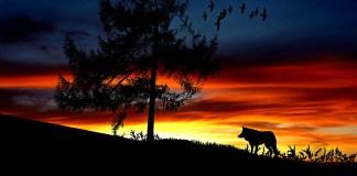 samotny jak wilk