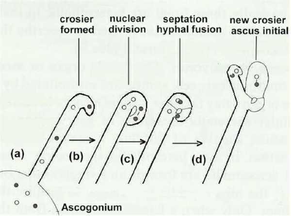Fig. 2.18. Generalised life cycle of Basidiomycota