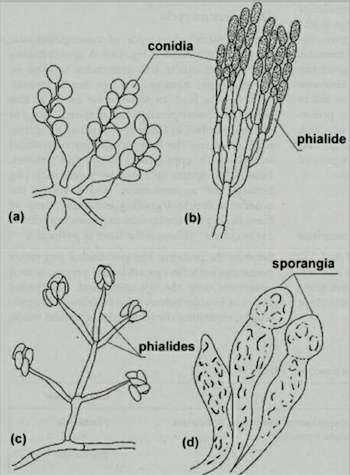 CHAPTER 15: FUNGAL PARASITES OF INSECTS AND NEMATODES