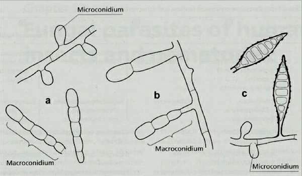 CHAPTER 16: FUNGAL PATHOGENS OF HUMANS