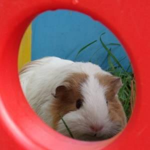 snowball the guinea pig