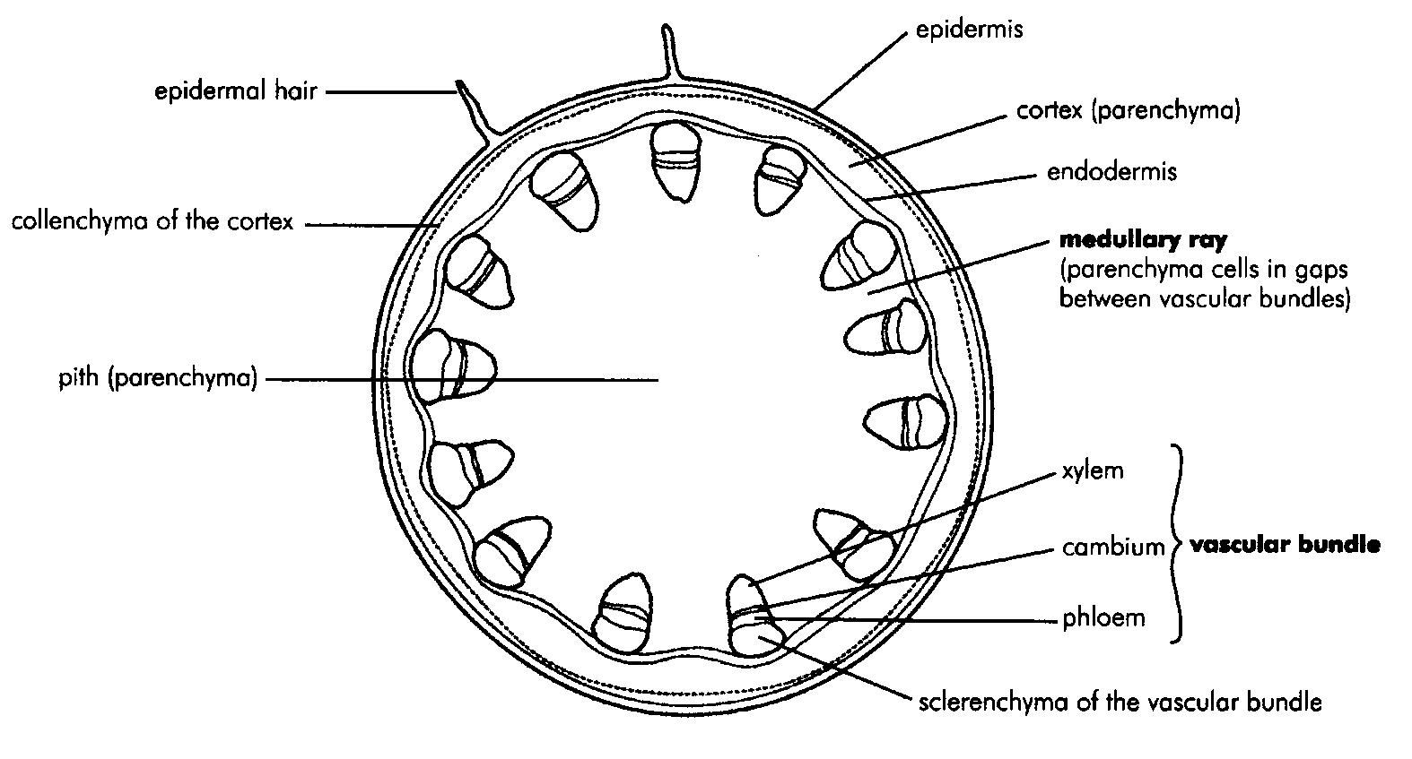 hight resolution of internal structure of the dicotyledonous stem