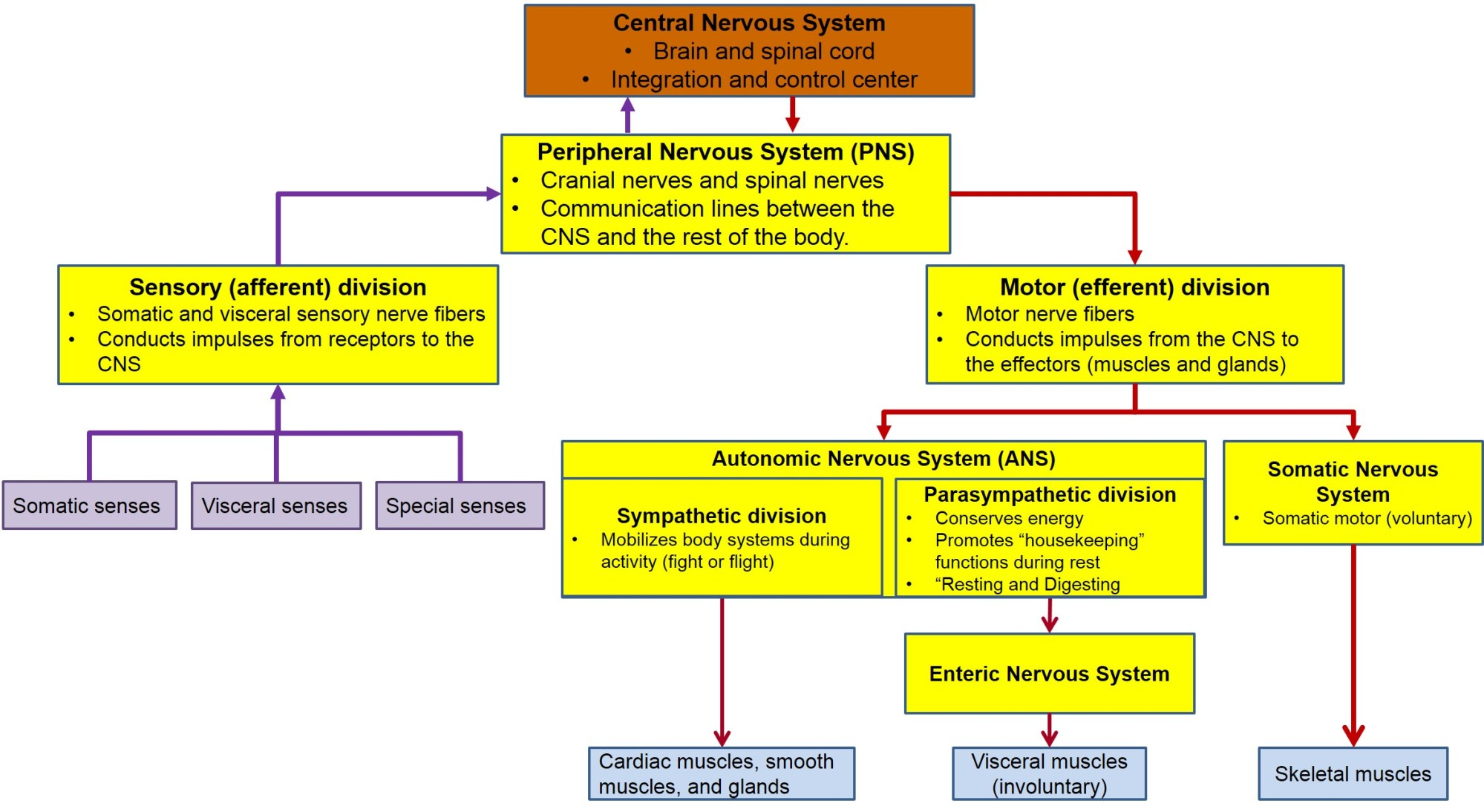 hight resolution of this figure diagrams the organization of the nervous system