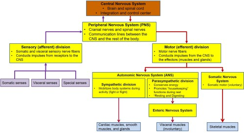 small resolution of this figure diagrams the organization of the nervous system