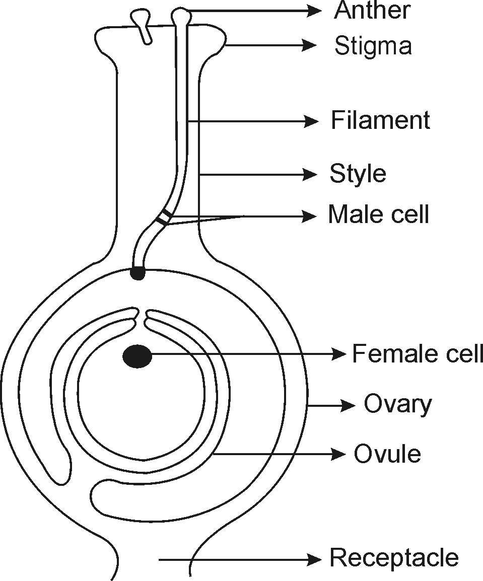 flower parts diagram without labels central heating programmer wiring of a plant schematic library organs flowers
