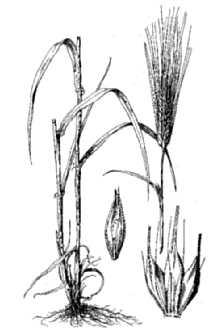 Barley Anatomy