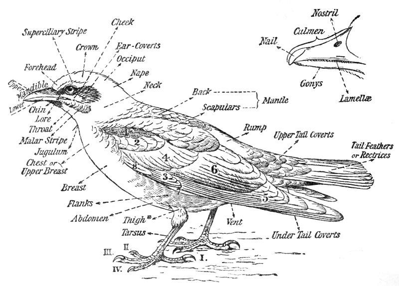 Birds of Britain : Bonhote, J. Lewis : Free Download
