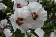 Red Heart Rose Of Sharon Bush In Italy Valley