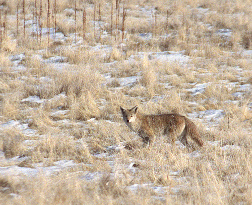 Utah Bill Seeks To Exterminate Up To 20,000 Coyotes  The