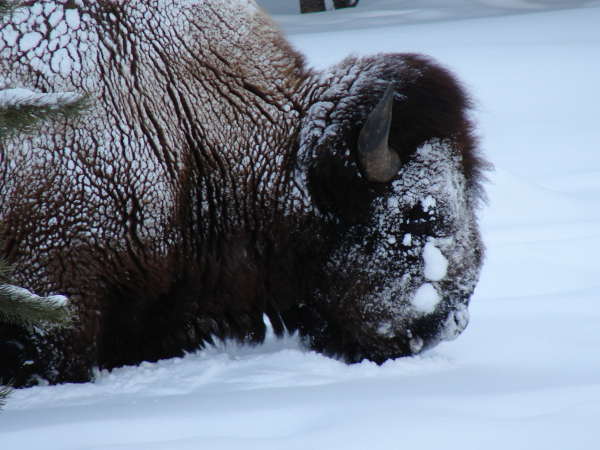 bison head and neck dusted in snow