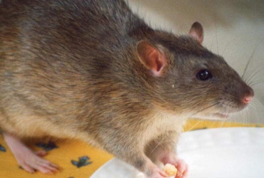 Virus carried by pet rats found in Pennsylvania | TribLIVE.com