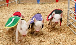 Who doesn't love racing pigs? Catch the show at the Big E starting Friday, September 16.