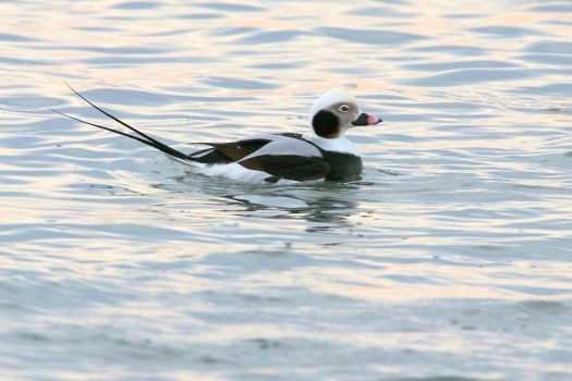 An adult male long-tailed duck  Bruce Finnan photo