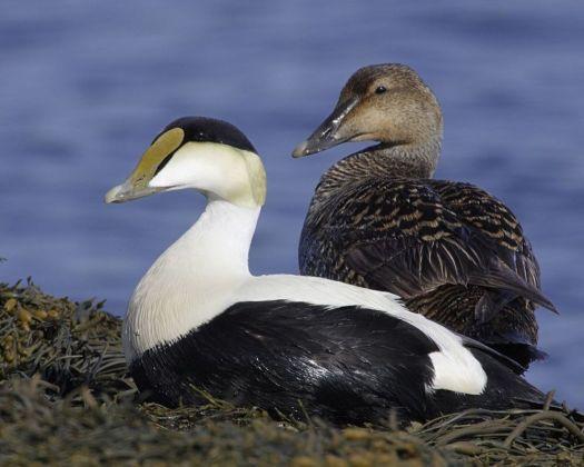 Audubon.org A common eider