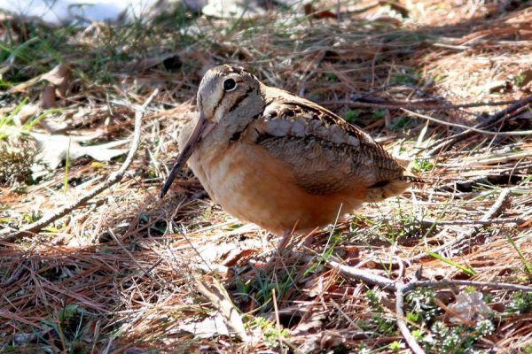 An American woodcock  Bruce Finnan photo