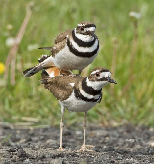 A mating pair of killdeer Mark Szantyr photo
